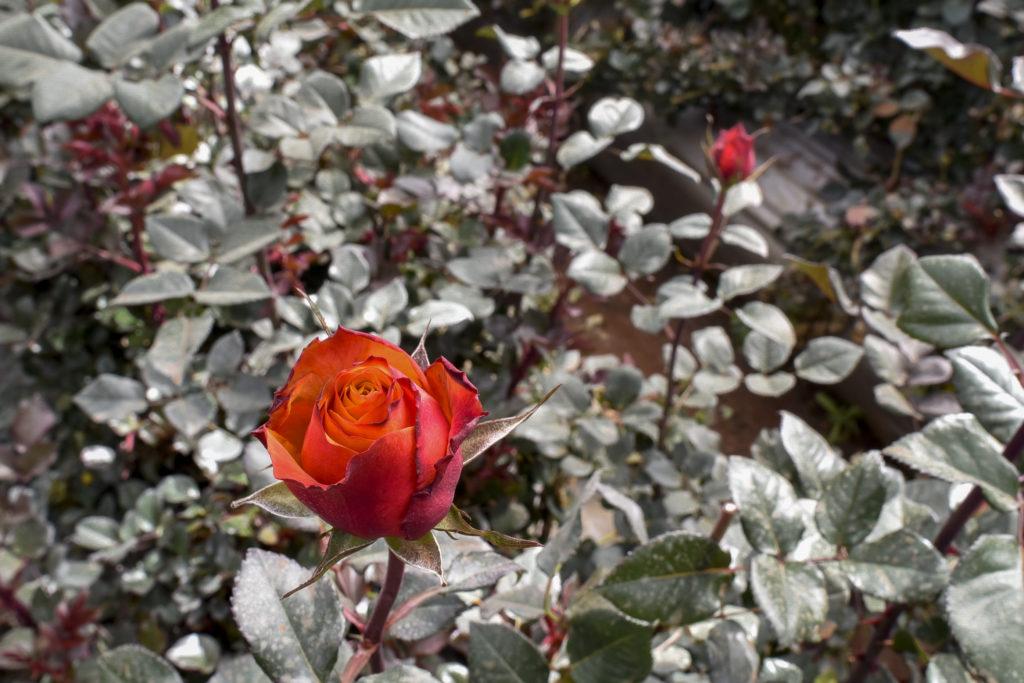Bellissima rose