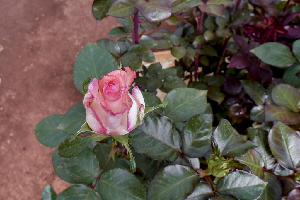 Rose flower at Bellissima