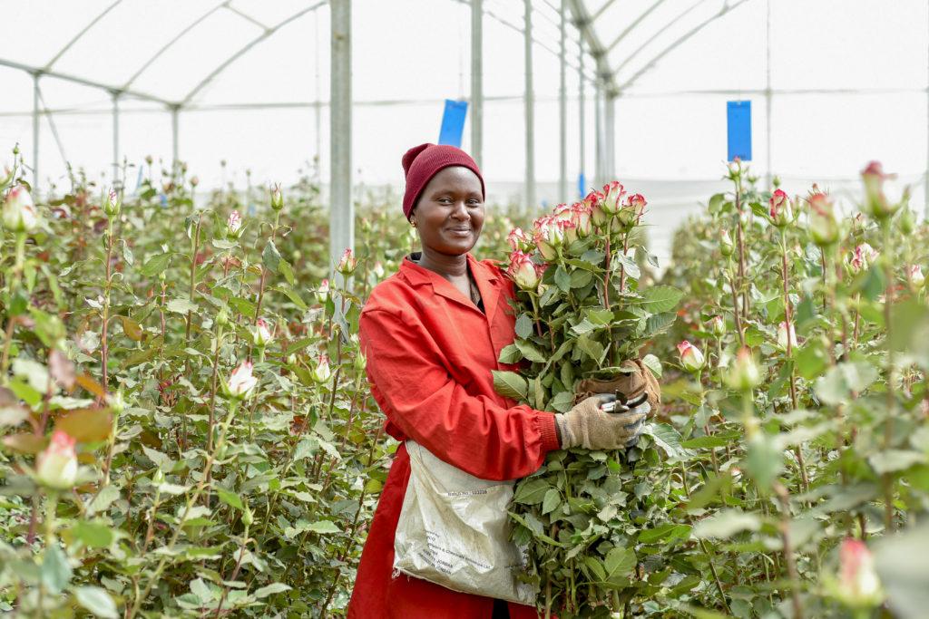 Harvesting roses at Bellisima