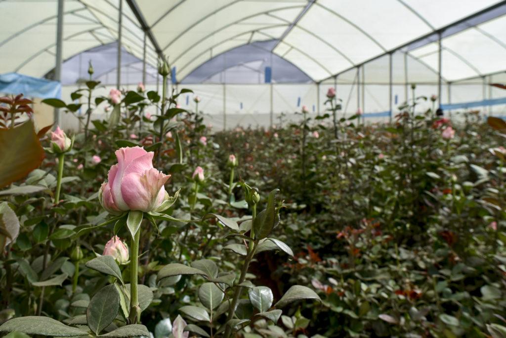 flower optimal connection bellissima premium roses
