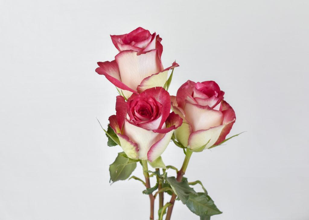 Bicoloured rose flowers