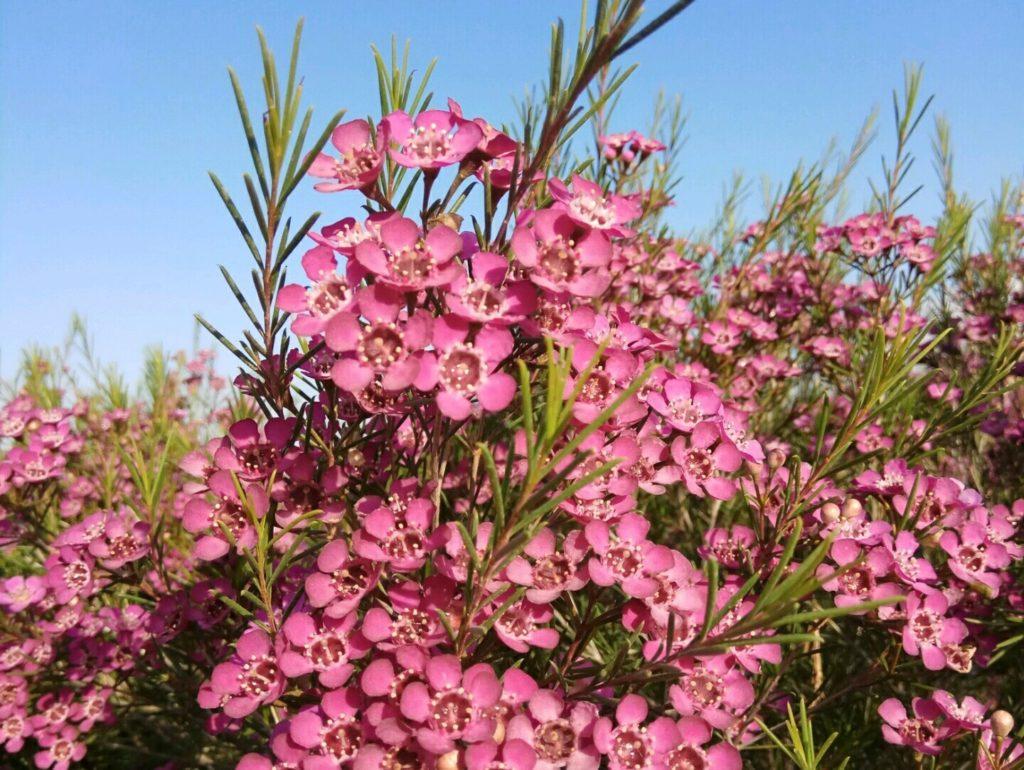 pink wax flower
