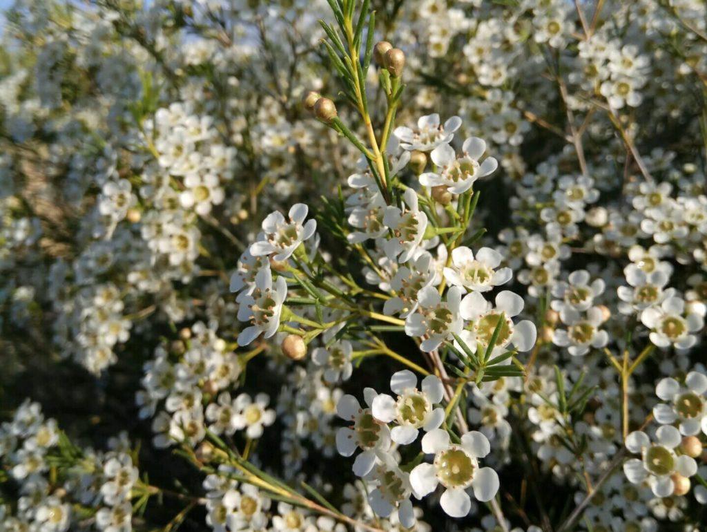 white wax flower