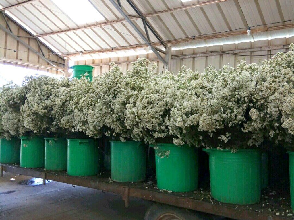 white wax flowers